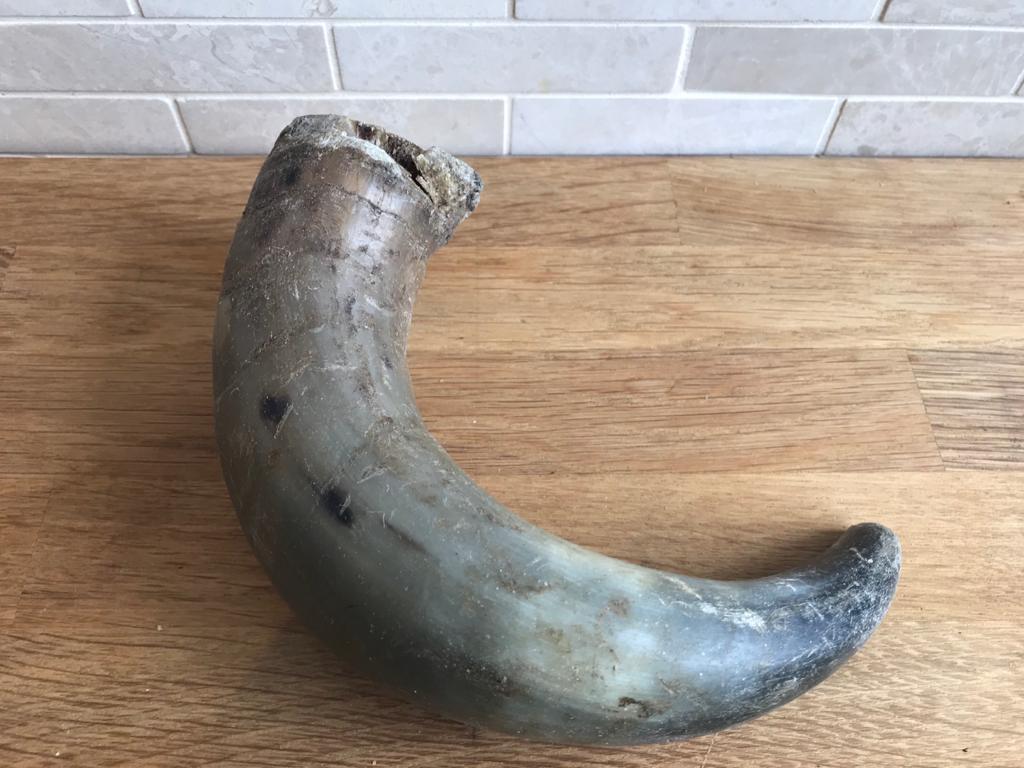 Buffalo Horn – Large